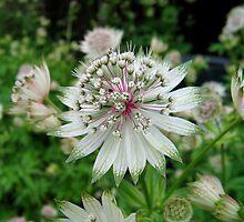 Great Masterwort - A Flower.... by GerryMac