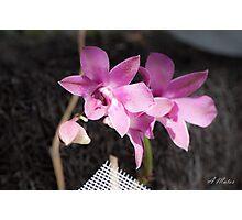 Violet Orchids  Photographic Print
