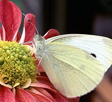 Large White Butterfly by kitlew
