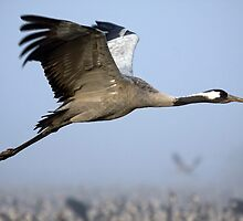 Common crane (Grus grus) also known as the Eurasian Crane by PhotoStock-Isra