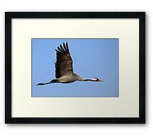 Common crane (Grus grus) also known as the Eurasian Crane Framed Print
