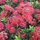 Red Ixora Flower Cluster by dww25921