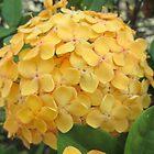 Yellow Ixora Flower by dww25921