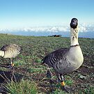 Nene, Mount Haleakala by kevin smith  skystudiohawaii