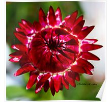 Floating Strawflower Poster