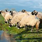 Chilly Sheep by Sue Knowles