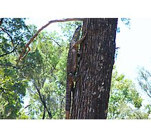 Lace Monitor heading up a tree Photographic Print