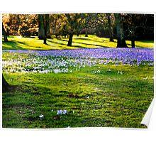 The Crocus Carpet at Kew Poster