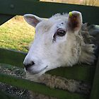Clive the Sheep! by JessieP