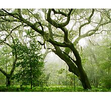 Whispering Oaks II Photographic Print