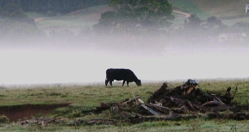 black cow in fog by Barbara Morrison