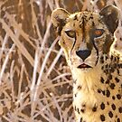 Cheetah by Lisa G. Putman