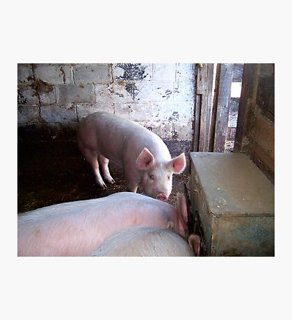 here piggy Photographic Print