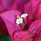 Bougainvillea Burst by Lesley Smitheringale