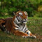 Tiger Stripes by Rock Mollica