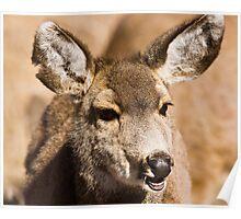 Mule Deer Portrait Poster