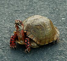 Box Turtle by Jim Caldwell