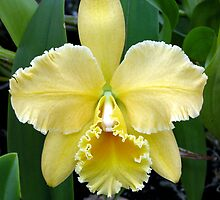 Yellow laeliocattleya orchid by orchidcat