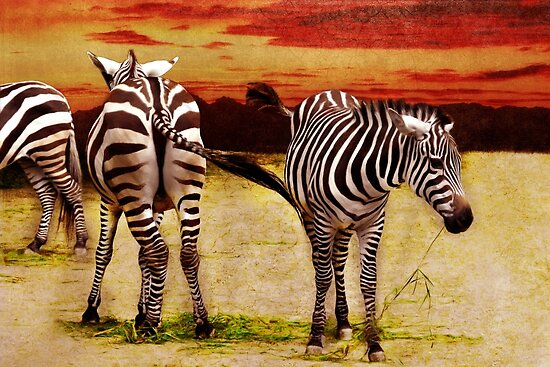 The Zebras by Angela Dölling
