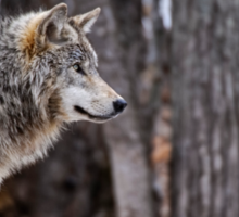 Timber Wolf in trees Sticker