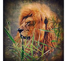 A Lion portrait Photographic Print