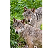Timberwolf Pair Photographic Print
