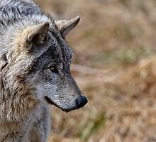 Challange Avatar 2, Timber Wolf by Michael Cummings