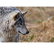 Challange Avatar 2, Timber Wolf Photographic Print