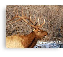 Bull Elk - 9x7 Canvas Print