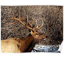 Bull Elk - Watercolor Poster