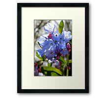 Sunny Bluebells at Bull Run Framed Print