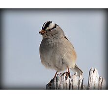 White-Crowned Sparrow Photographic Print