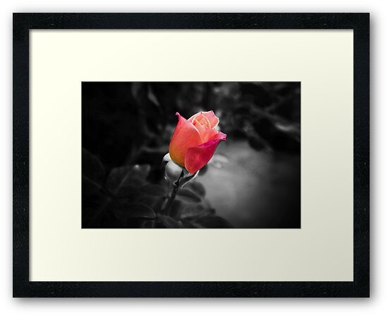 Rose To The Occasion by Sam Frysteen