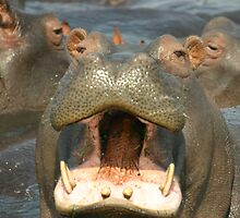 Hippo - Up Close and Personal by swanny
