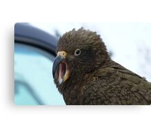 Open Wide say Ahh!!! Kea - The Remarkable's  - Queenstown - New Zealand  Canvas Print