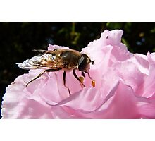 Dropping in for a bite! Hoverfly on Rhododendron New Zealand Photographic Print