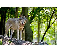 Timber Wolf on Rocks Photographic Print