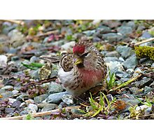 I am a pretty girl! - Redpoll - Southland - New Zealand Photographic Print