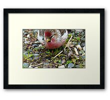 Realy Tasty - Redpoll - Southland - New Zealand Framed Print