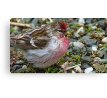 I am in the pink! Redpoll - Southland - New Zealand Canvas Print