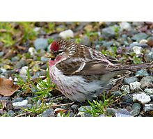 Pretty Boy! - Redpoll - Southland - New Zealand Photographic Print