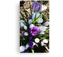 A Garden Bouquet! - Crocus - NZ - Southland Canvas Print
