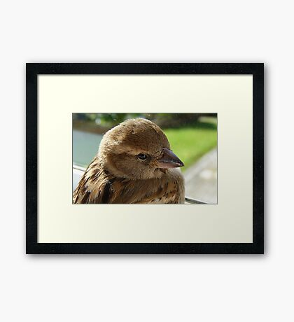I'll soon be well to fly again! - House Sparrow - NZ - Southland Framed Print
