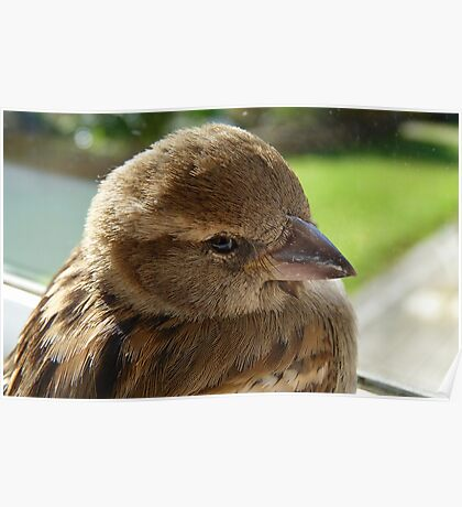 I'll soon be well to fly again! - House Sparrow - NZ - Southland Poster