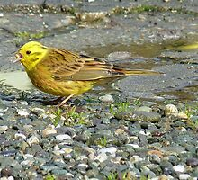 Down the hatch! - Yellowhammer - NZ Southland by AndreaEL