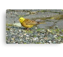 Down the hatch! - Yellowhammer - NZ Southland Canvas Print