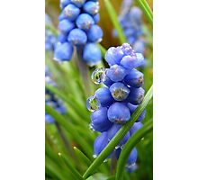 Drops on Bells - Grape Hyacinthis - NZ - Southland Photographic Print