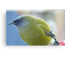 Can you get any closer - Belbird - NZ - Southland Canvas Print