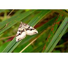 Pointed arrow! - Moth - NZ - Southland Photographic Print