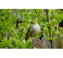 Where is the apple! - Silvereye - NZ - Southland Photographic Print